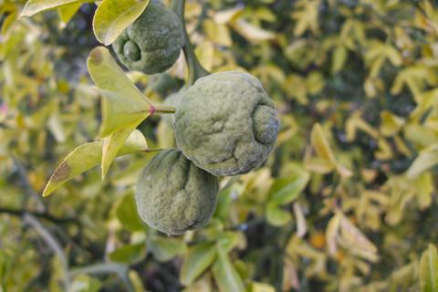 Mrazuvzdorny citrus