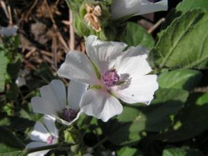 althaea_officinalis